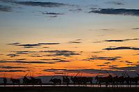 Herd of Gemsbok on the edge of a water-fileld Kudiakam Pan