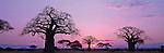 The sun setting behind baobab trees in Tarangire National Park, Tanzania.