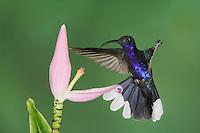 Violet Sabrewing, Campylopterus hemileucurus, male in flight feeding on  Ornamental Banana flower(Musa velutina), Central Valley, Costa Rica, Central America
