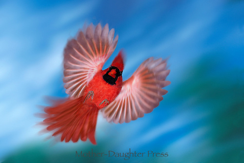 Male Northern Cardinal (Cardenalis cardenalis) with wings spread flying forward on blue sky day     Missouri USA America