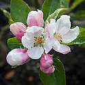 Blossom of Apple 'Ellison's Orange', early May. An English dessert apple with a slight aniseed taste. Bred in Lincolnshire by Rev. C. C. Ellison at the beginning of the 20th century.
