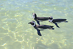 African Penguins Swimming