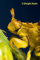 AM10-508z  Ambush Bug, female face, close-up of eyes, beak and antennae, Phymata americana