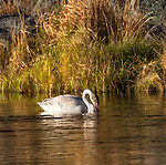 A young trumpeter swan floats in the Madison River in yellowstone