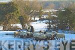 Farmer feeding sheep in the snow on the Killarney Tralee Road.