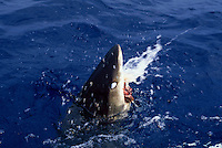 An oceanic whitetip shark Carcharhinus longimanus biting at the surface showing it's protective nictitating eyelid. Hawaii