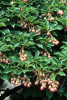 Enkianthus campanulatus shrub in spring bloom showing plant habit with flowers and leaves