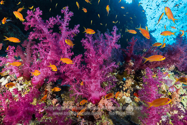 TG0383-D. Soft corals (Dendronephthya sp.) thrive on a reef wall at 25 meters deep in Ras Mohammad National Park. The golden fish are Scalefin Anthias (Pseudanthias squammipinnis), also called Lyretail Anthis, sea goldies, or fairy basslets. Egypt, Red Sea.<br /> Photo Copyright &copy; Brandon Cole. All rights reserved worldwide.  www.brandoncole.com