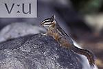 A Cliff Chipmunk (Tamias dorsalis) Portal, Chiricahua Mountains, Arizona
