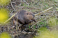 American Beaver (Castor canadensis) feeding on small branches along edge of beaver pond.  Greater Yellowstone Area, May.