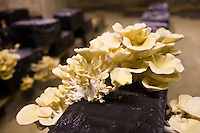 Oyster mushrooms, pleurote champignons, Pleurotus ostreatus, grow in troglodyte cave in Loire Valley, France