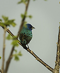 Indigo Bunting on the prairie