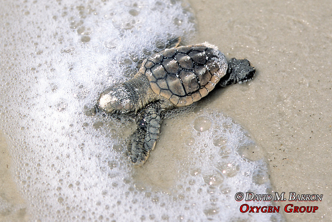 Loggerhead Hatchling Entering To Ocean