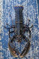"""Europe/France/Bretagne/29/Finistère/Le Conquet: Pêche au homard bleu sur le """"Louarn Ar Mor"""" - Détail homard bleu"""