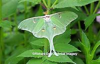 04000-002.01 Luna Moth (Actias luna) Marion Co.  IL