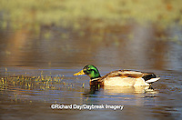 00729-017.12 Mallard (Anas platyrhynchos) male in wetland Marion Co.  IL