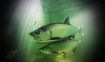 Tarpon swimming under a bridge in the Florida Keys. Jason Arnold /  www.JasonArnoldCollection.com