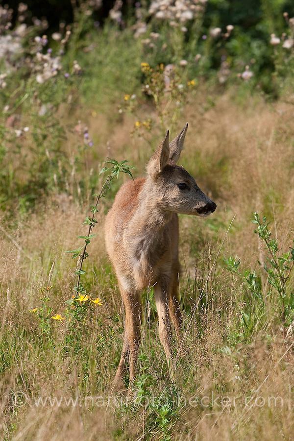 Rehkitz, Reh-Kitz, Kitz etwa 4 Monate alt, Europäisches Reh, Ricke, Weibchen, Capreolus capreolus, Roe Deer, Chevreuil