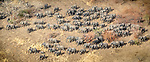 Central Africa aerial, African bush elephants (Loxodonta africana)