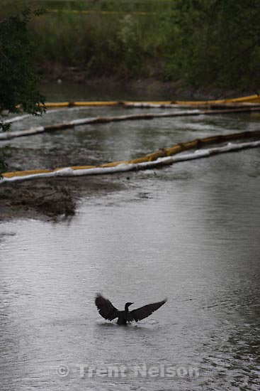 Trent Nelson  |  The Salt Lake Tribune.Salt Lake City - Waterfowl in the Jordan River near the Jordan Peace Park where cleanup booms were in place Wednesday, June 16, 2010 following Friday's oil spill.