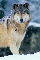 Gray Wolf (Canis lupus) in winter.