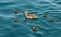 Mallard or Wild duck (Anas platyrhynchos) with ducklings | Stockente (Anas platyrhynchos) mit Kuecken