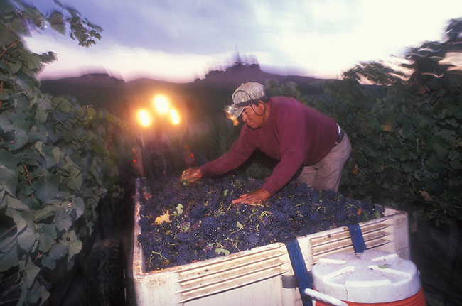 Picker uses lights to sort grapes during picking in Napa Valley. Grapes often picked in cool of night.