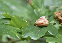 Brown-lipped Snail - Cepaea nemoralis