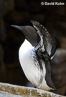 0727-1005  Common Murre (Common Guillemot) Spreading its Wings, North American Seabird, Uria aalge  © David Kuhn/Dwight Kuhn Photography