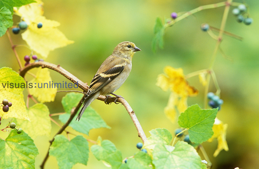American Goldfinch in the fall (Carduelis tristis), North America.