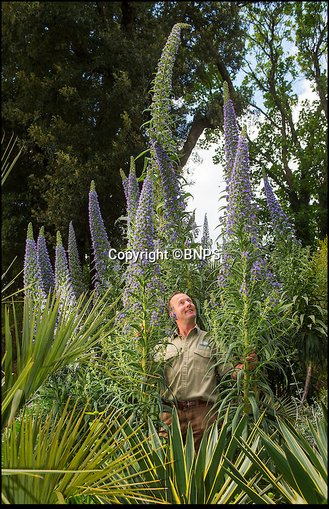 BNPS.co.uk (01202 558833)<br /> Pic: PhilYeomans/BNPS<br /> <br /> Head gardener Steve Griffith is dwarfed by the massive flower spikes of Tree Echiums (Echium pininana) some of which are nearly 20 feet tall.<br /> <br /> It's like the Day of the Triffids at the Abbotsbury sub-tropical gardens in Dorset this week as the mild winter and wet and warm spring has caused a huge growth spurt for its exotic range of plants from all over the world.<br /> <br /> Included in the strange sights is the earliest ever blooming in the UK of the Chilean Sheep Eating plant Puya berteroniana, which despite having a fearsome reputation for trapping mammals in its barbed fronds also has a delicious nectar that can be drunk.<br /> <br /> Triffid like Tree Echiums nearly 20 feet tall are also dwarfing visitors to the Jurassic Coast garden whoose uniquely warm and mild micro climate are perfect for dino sized plants.