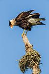Southern Caracara (Caracara plancus) balancing, Ibera Provincial Reserve, Ibera Wetlands, Argentina
