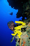 Diver on Cayman Wall & Yellow sponge, Grand Cayman Island