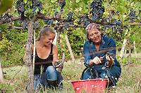 The annual harvest of the Sangiovese grapes at Colombaia winery in the Colle di Val d' Elsa region of Tuscany, Italy