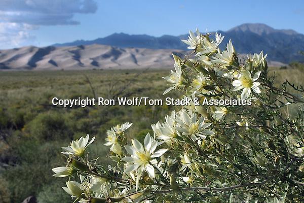 Adonis Blazing Star (Mentzelia multiflora) a/k/a Adonis Stickleaf. Great Sand Dunes National Park. Alamosa Co., Colo.