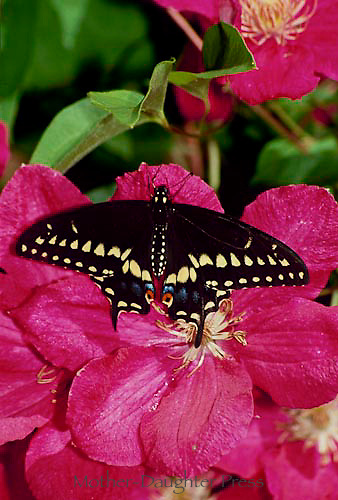 black swallowtail,papilio polyxenes, on pink clematis vine in summer