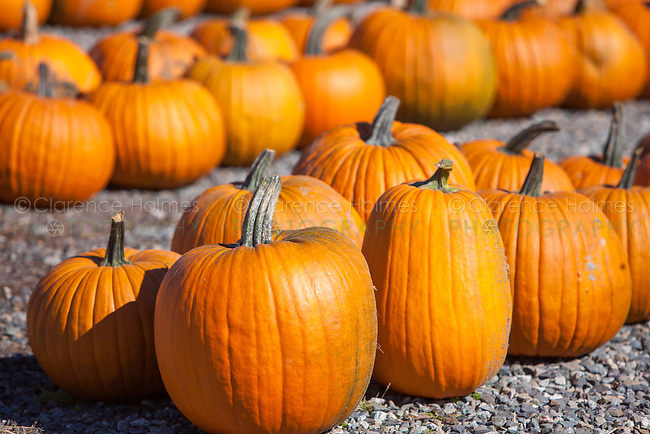 Pumpkins ready for Halloween at an outdoor market.