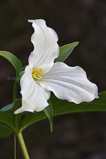 A lovely White Trillium at the Acton Arboretum.