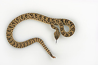 Mojave Rattlesnake, Crotalus scutulatus, studio portrait, studio portrait, ideal for cutout