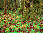 Olympic National Park, WA  <br /> Moss covered trees & wood sorrel ground cover, Maple Glade Rainforest Trail in Quinault Valley