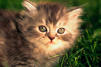 Closee up portrait of the face of a Persian silver patch tabby kitten in grass.