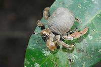 Hermit Crab, Pagurus sp., adult on leaf, Manuel Antonio National Park, Central Pacific Coast, Costa Rica, Central America, December 2006