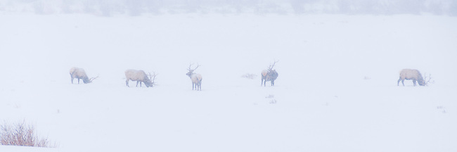 line of elk bulls on winter day during snowstorm in Rocky Mountain National Park, Colorado, USA