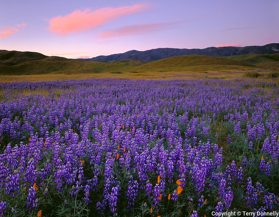 Carrizo Plain National Mounment, CA<br /> Desert field of miniture lupine and California poppies with the Caliente Range in the distance at dawn