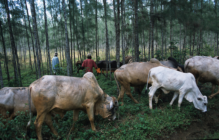 Borana cows grazing in a Casualina Tree Woodlot