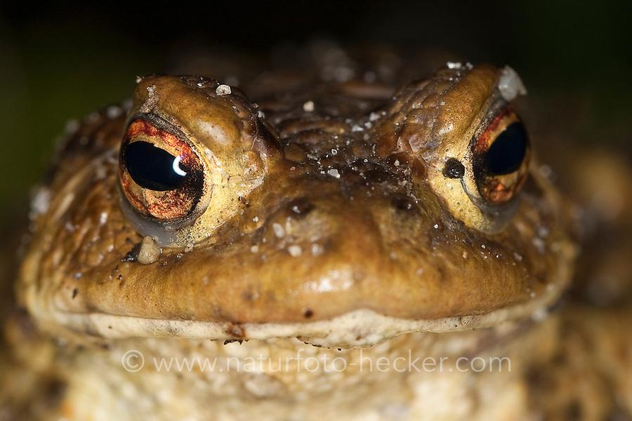 Erdkröte, Portrait, Auge, Augen, Erd-Kröte, Kröte, Bufo bufo, European common toad