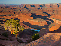 Dead Horse Point State park, UT<br /> Morning sun on small Utah juniper (Juniperus osteosperma) overlooking the Goose Neck section of the Colorado River.
