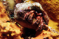 MARINE LIFE<br /> Hermit crab on sponge<br /> Decapod crustaceans of the superfamily Paguroidea<br />  The hermit crab's vulnerable abdomen is protected from predators by a scavenged gastropod shell.