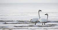 I've seen plenty of Trumpeter swans in lake and rivers, but this was my first time seeing them at the ocean.