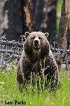 Grizzly bear in burnt forest. Yellowstone National Park, Wyoming.